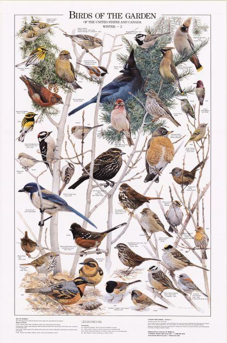 Birds Of The Garden Winter Ii Chart Bird Identification Charts Beautiful Birds Birds Pet Birds