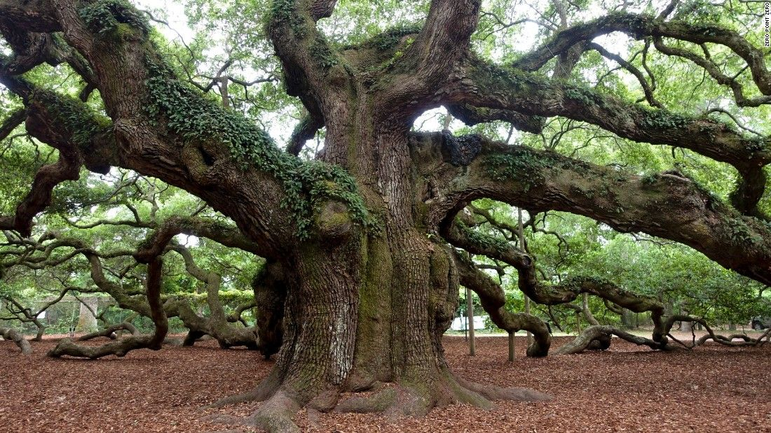 Angel Oak Tree is a popular attraction on John's Island, just near Charleston. It stands 65 feet tall and its canopy of trunks and limbs provides close to 17,000 square feet of shade.