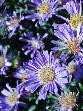 Aster Bonny Blue Bluestone Perennials Blue And Purple Flowers Perennials Flowers Perennials