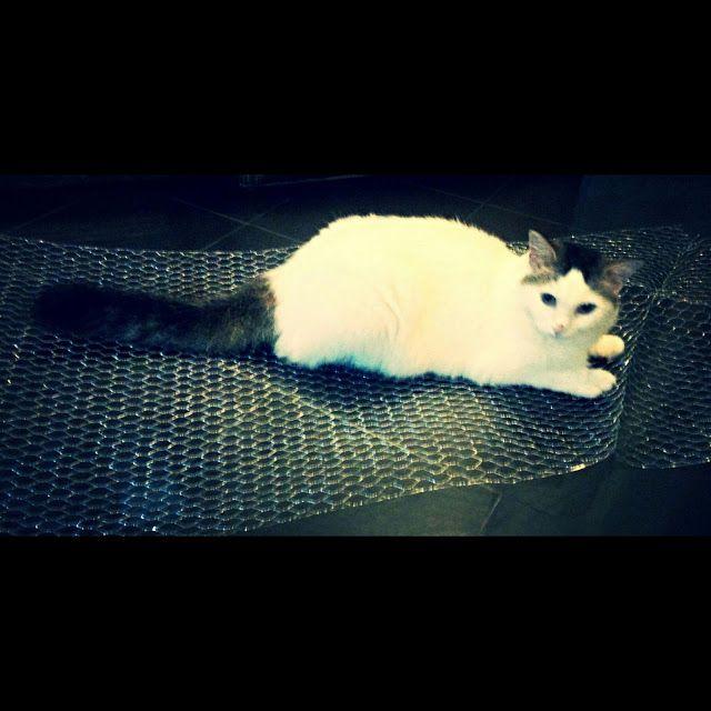 Lola #cat
