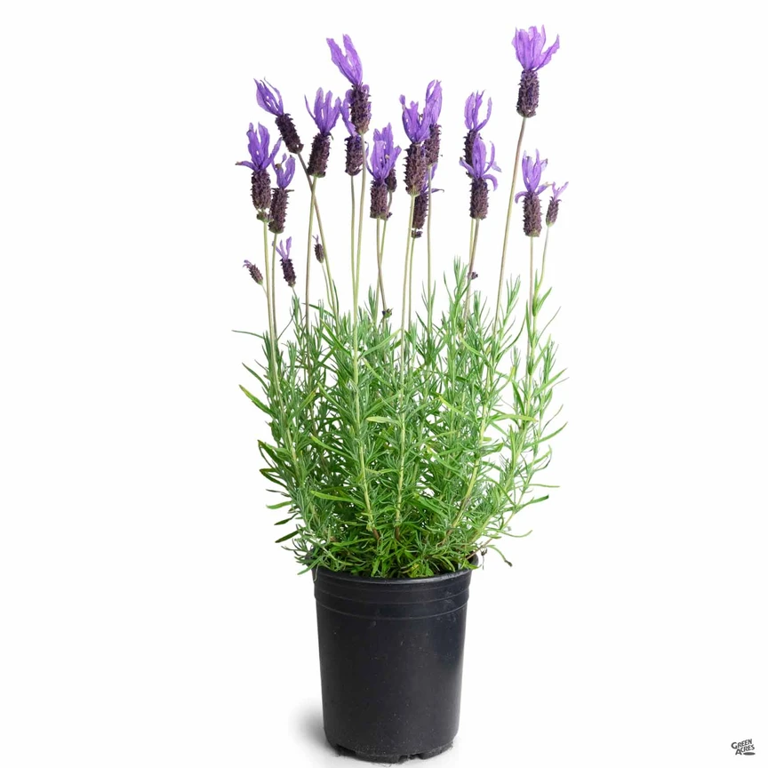 Spanish Lavender In 2020 Spanish Lavender Showy Flowers How To Attract Hummingbirds