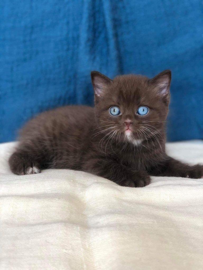 British Shorthair Kittens British Shorthair Kittens For Sale British Shorthair Kittens For Sale Near British Shorthair Kittens Kittens Cutest Kitten Adoption