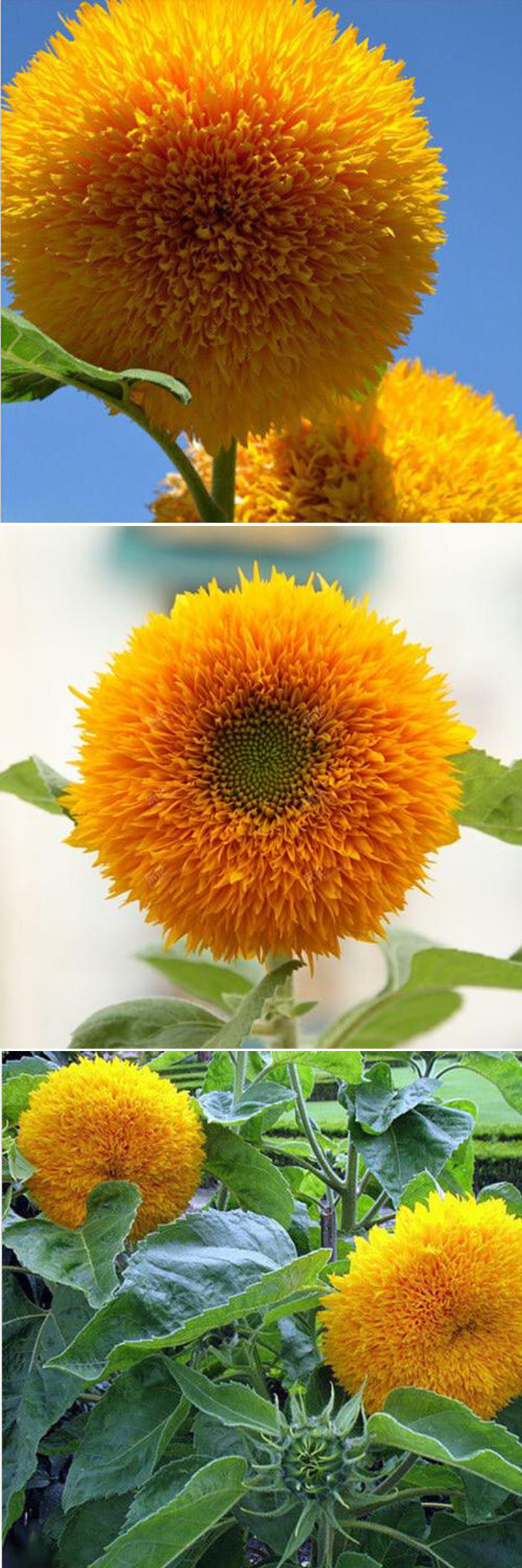 15Pcs Teddy Bear Sunflower Seeds Home Garden Semi Dwarf