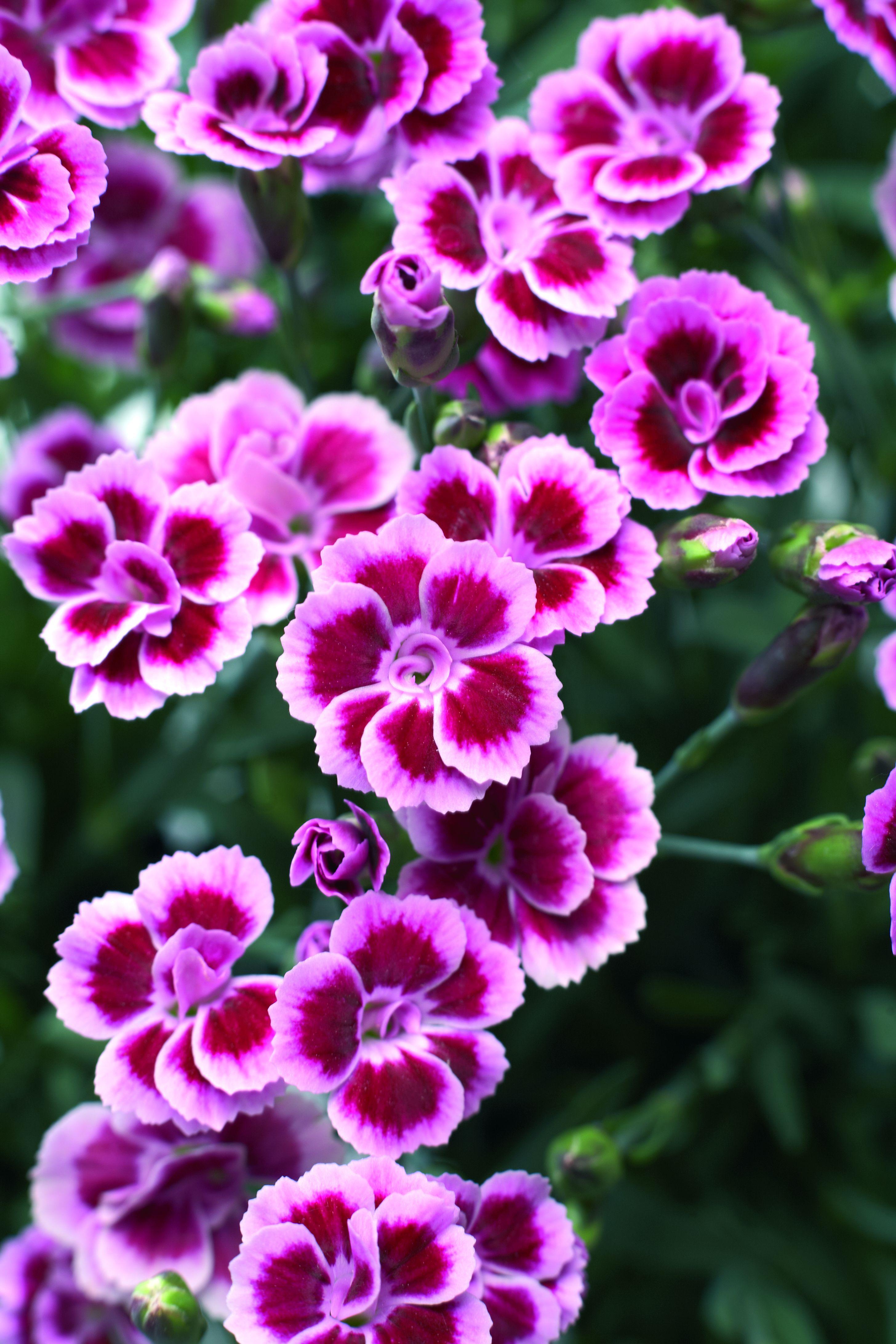 Dianthus Pink Kisses Dianthus Pinterest Flowers Dianthus