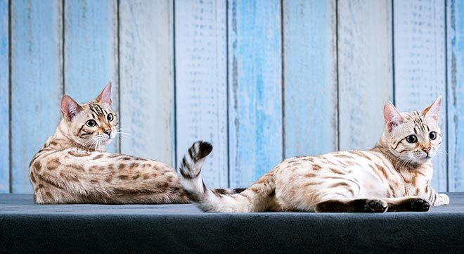 Two snow Bengal cats sitting back to back Bengal cat