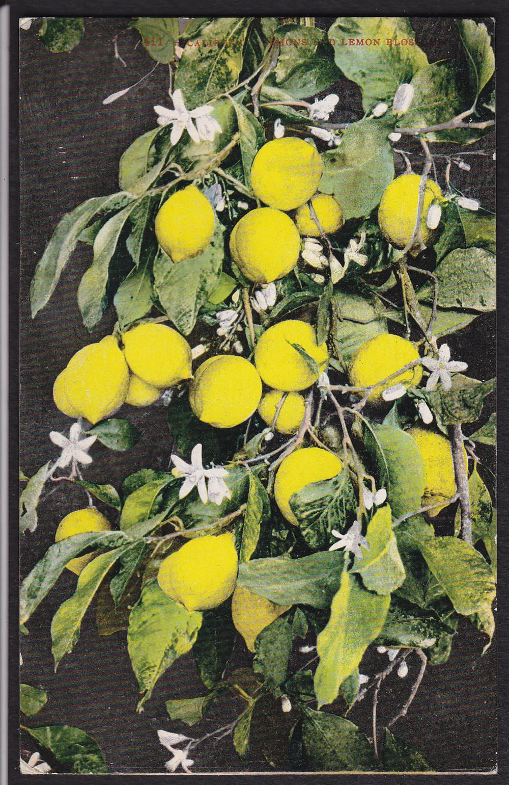 California-Lemon Tree-Blossoms -Antique Postcard | eBay