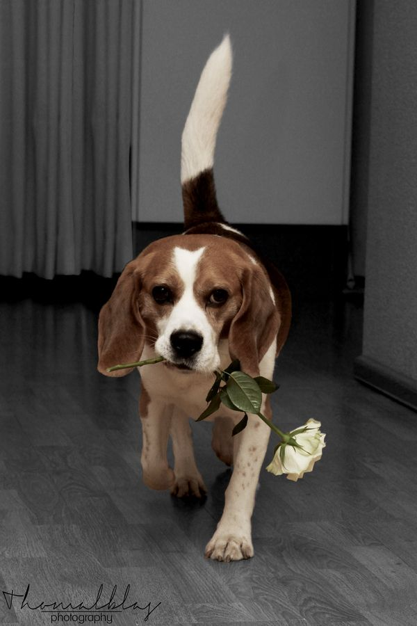 Funny Dog Shaming Video Starring Louie The Beagle Episode 2