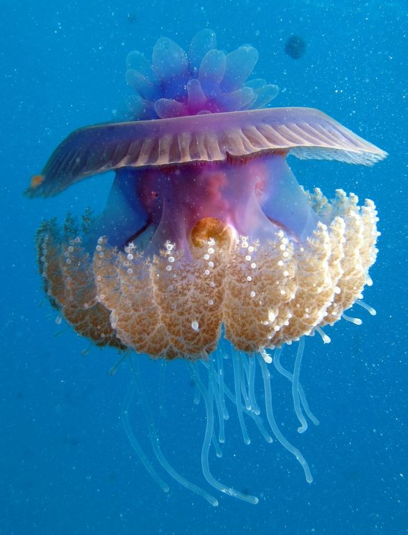 Uma água-viva, Cauliflour Jellyfish (Cephea cephea) em Marsa Shouna, no Mar Vermelho, Egito    Foto by Derek Keats