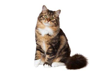 Siberian Cat Breed - Purina®