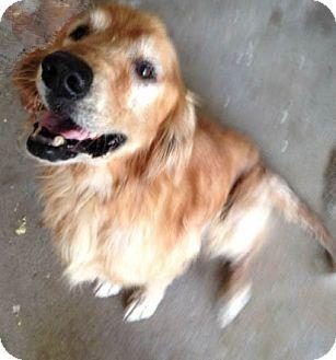 Cheshire Ct Golden Retriever Meet Regis A Dog For Adoption