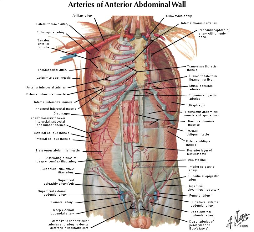 netter images - Google Search | Anatomy | Pinterest | Anatomy and ...