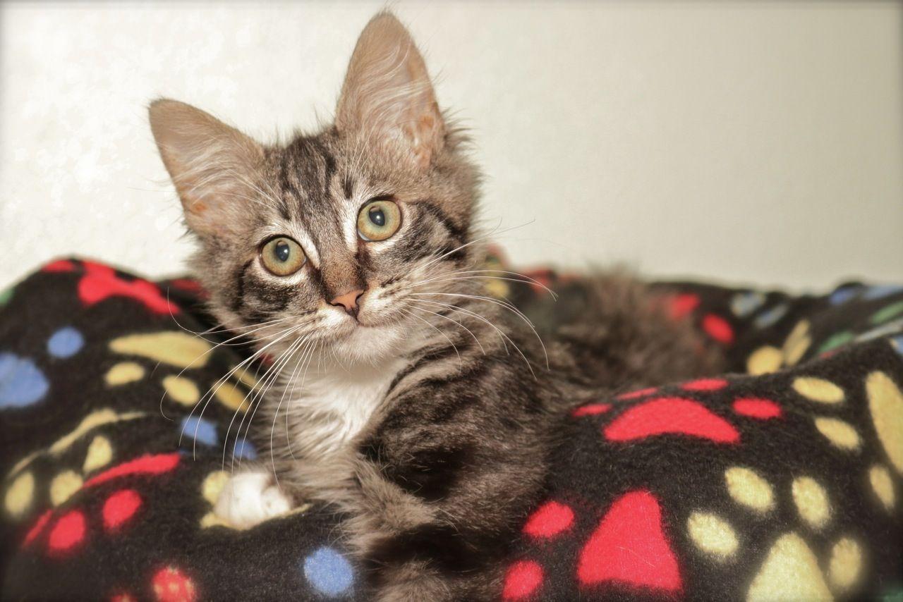 Tao Silver tabby kitten, Cats, Orange tabby cats