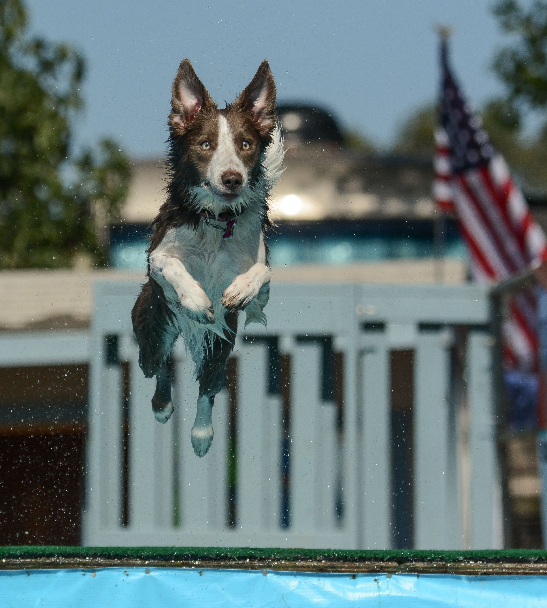 Tatum The Lilac Border Collie At A Nadd Akc Dock Diving