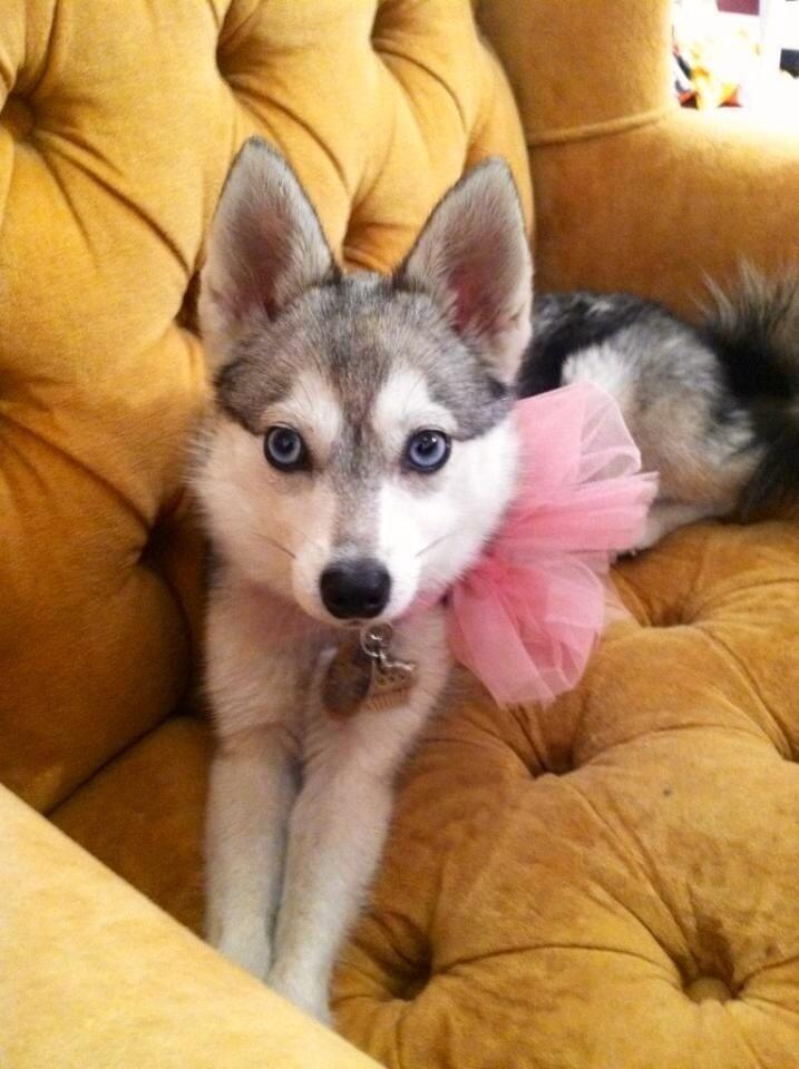 Princess Husky Puppy Cute Animals Cute Dogs Baby Dogs