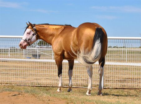Colonels Smoken Chex - Show Horse Gallery, A Different Horse is Featured Every Day