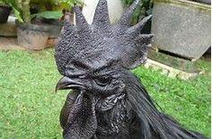 Ayam Cemani - Bing Bilder