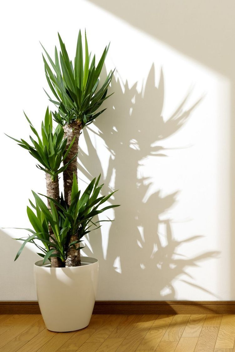 Yucca Plant Best Indoor Trees House Plants Decor Plant Decor Indoor