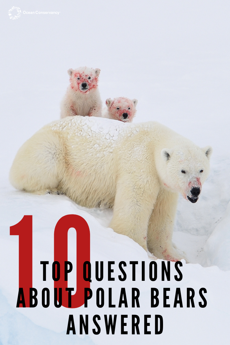 Your Top 10 Questions About Polar Bears Answered With Images