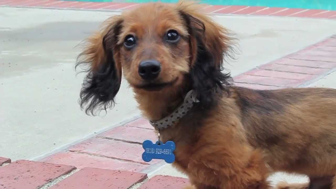 Red dachshund long hair boby van alles en nog wat pinterest
