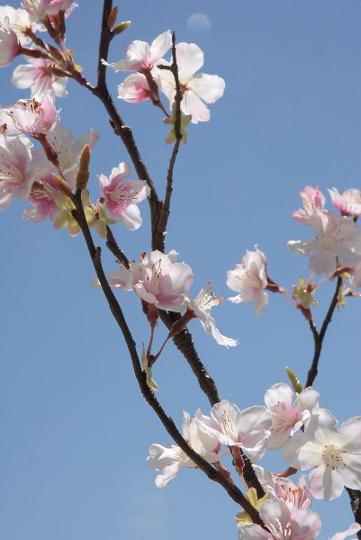 Tall Silk Pink Cherry Blossom Branches 42in Cherry Blossom Branch Cherry Blossom Cherry Blossom Wedding Theme