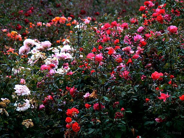 """Roses"" (Photo by Lin Haring) ................................. A colorful, fragrant field of romantic dreams"