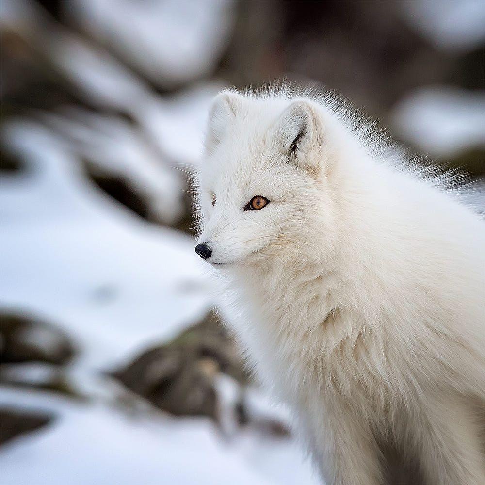 Arctic Fox By Stig Roar Martinsen On 500px Arctic Fox Fox Fox Tattoo