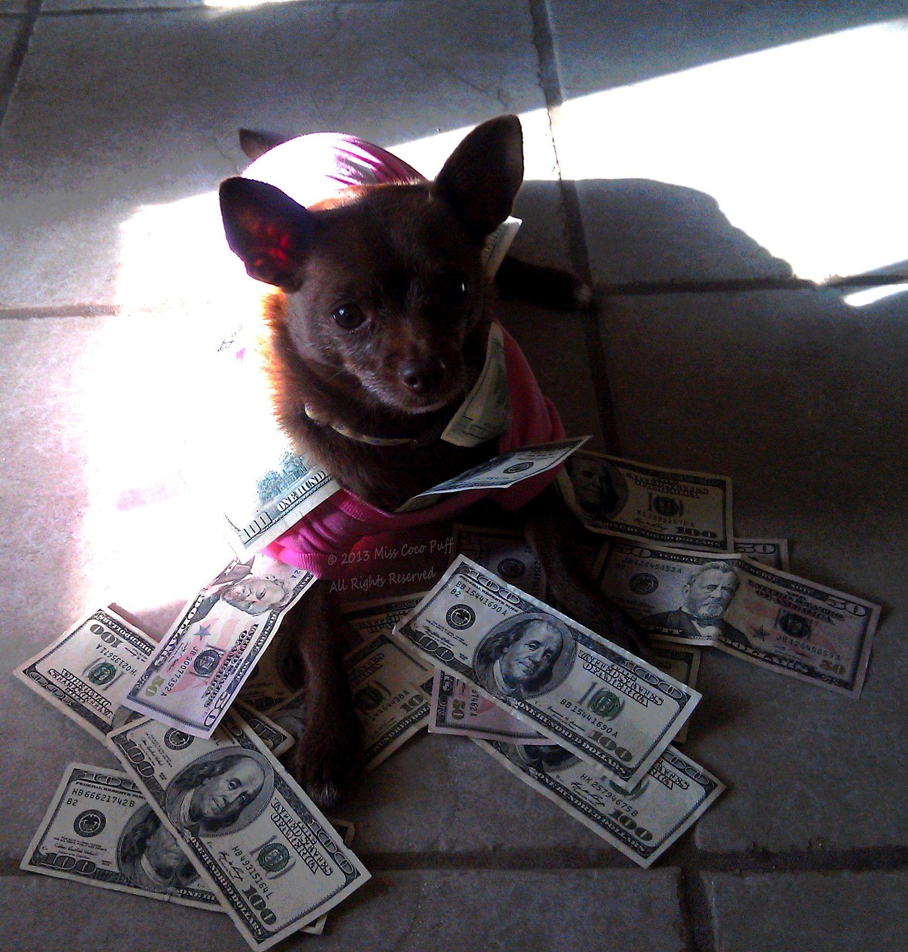 Taxes boston terrier terrier animals