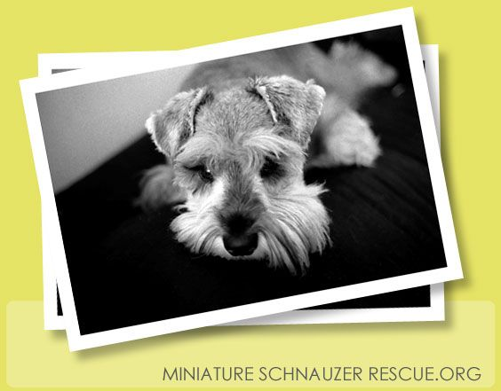 Rescuing Mini Schnauzers And Finding New Homes For Them Located In Houston Tx Miniature Schnauzer Rescue Mini Schnauzer Schnauzer