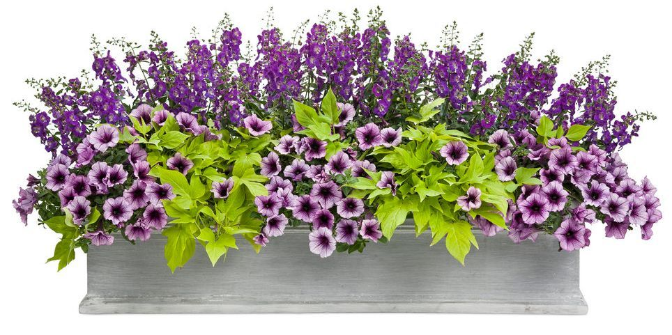 parisian nights sun container recipe snapdragon petunia on sweet dreams for your home plants decoration precautions and options id=66286