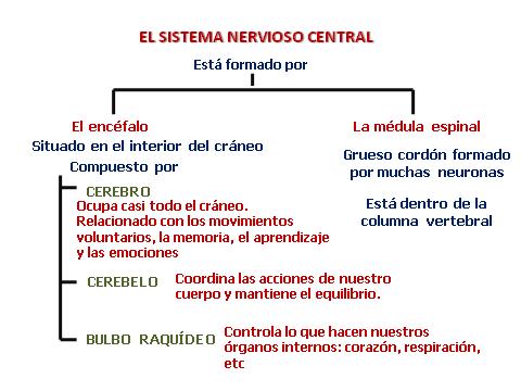 Esquema Sistema Nervioso Central Buscar Con Google Sistema Nervioso Sistema Nervioso Central Nervioso