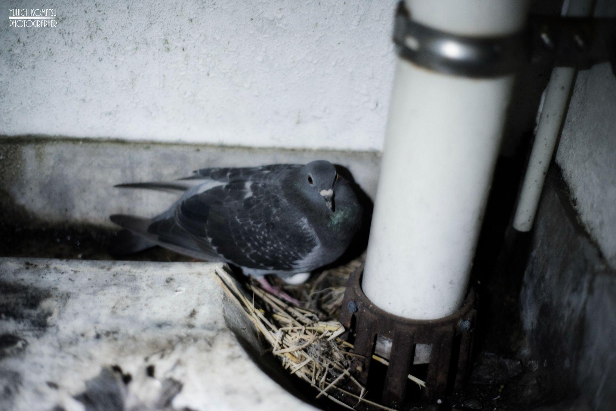抱卵(incubation of pigeon) by Yuuichi Komatsu on 500px