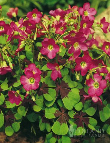 Four leaf clover iron cross good luck plant pink blossoms solid four leaf clover iron cross good luck plant pink blossoms solid purple imprint in middle of 4 heart shaped leaves plant in spring blooms in early mightylinksfo