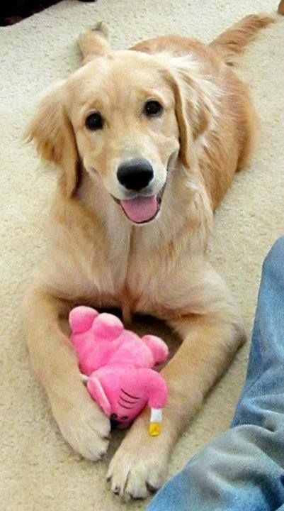 Goldenretriever Golden Retriever Dogs Cute Dogs