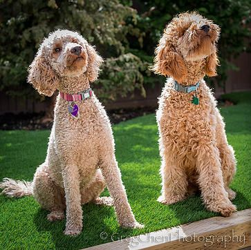 Moyen Sized Small Standard Red Poodles Due September 25 2015