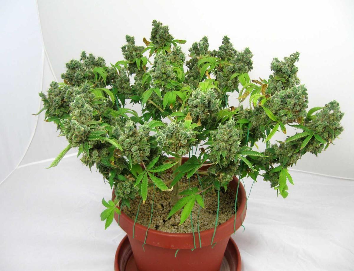 How to grow short and bushy marijuana plants growth control maxx how to grow short and bushy marijuana plants growth control nvjuhfo Image collections