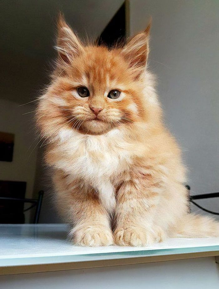 50 Cute Maine Coon Kittens That Are Actually Giants Waiting To Grow Up #catbreeds