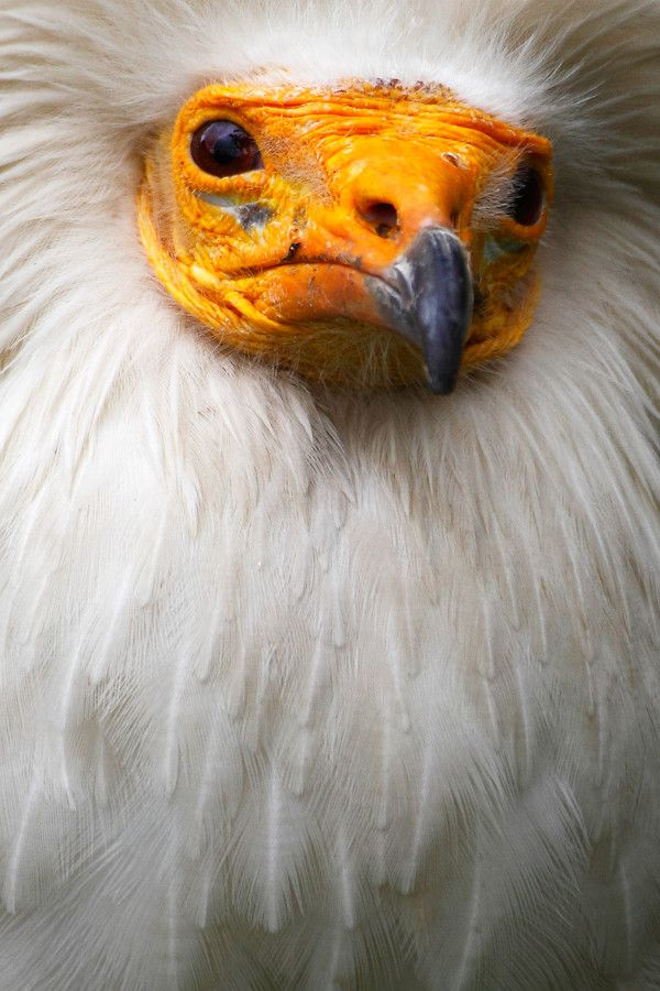 Egyptian Vulture by Andrés López