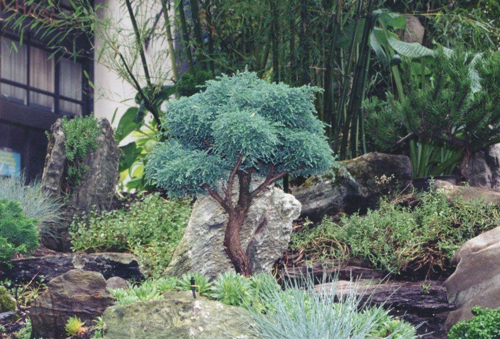 result dwarf evergreen