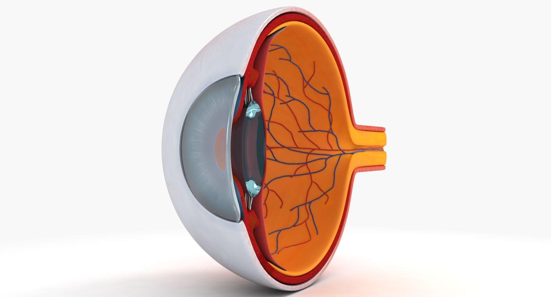 3d model #anatomy #eye #eyeball #medical #cross #section #human ...