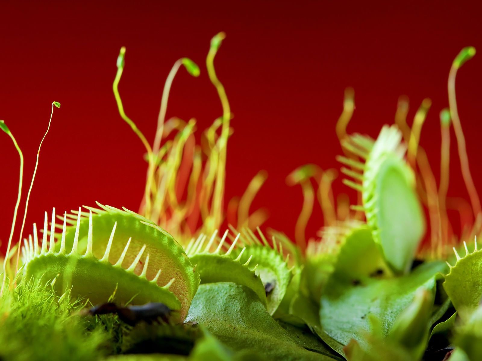 Fonds Dcran Plante Carnivore Maximumwallhd Little Shop Plant Flytrap Robots Can Hunt And Catch Bugs For Meals