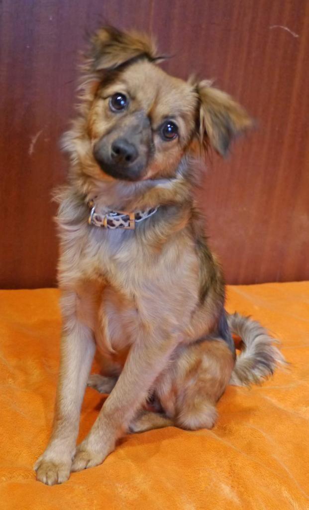 Hund Welpe, SpitzMix (Mischling, Hündin, 4 Monate) in