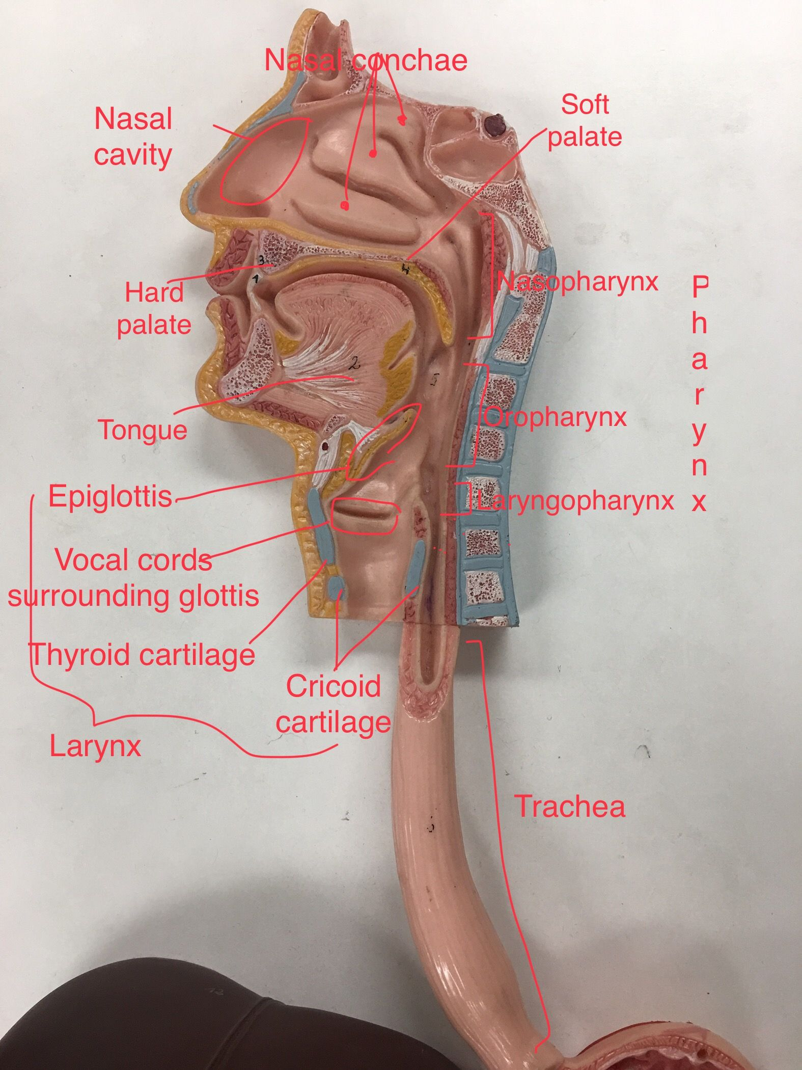hight resolution of respiratory system labeled