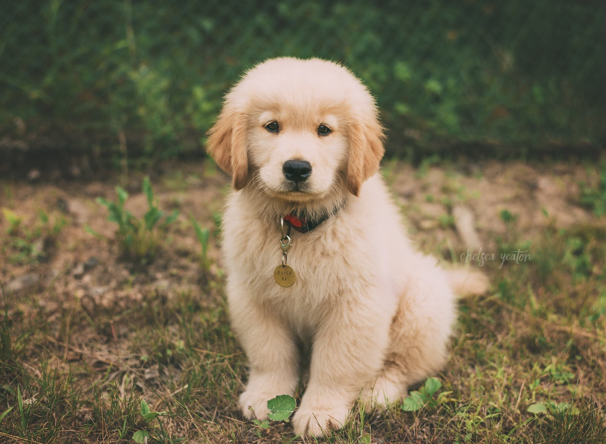 Newborn Puppy Golden Retriever Puppy Brier Golden Retriever