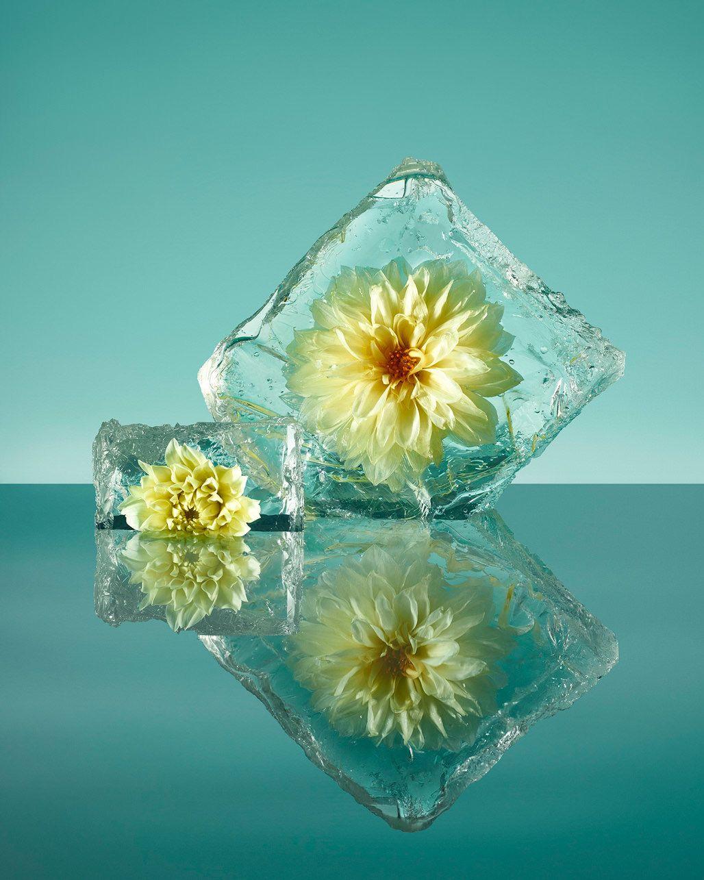 A fotógrafa que explora a beleza das flores congeladas