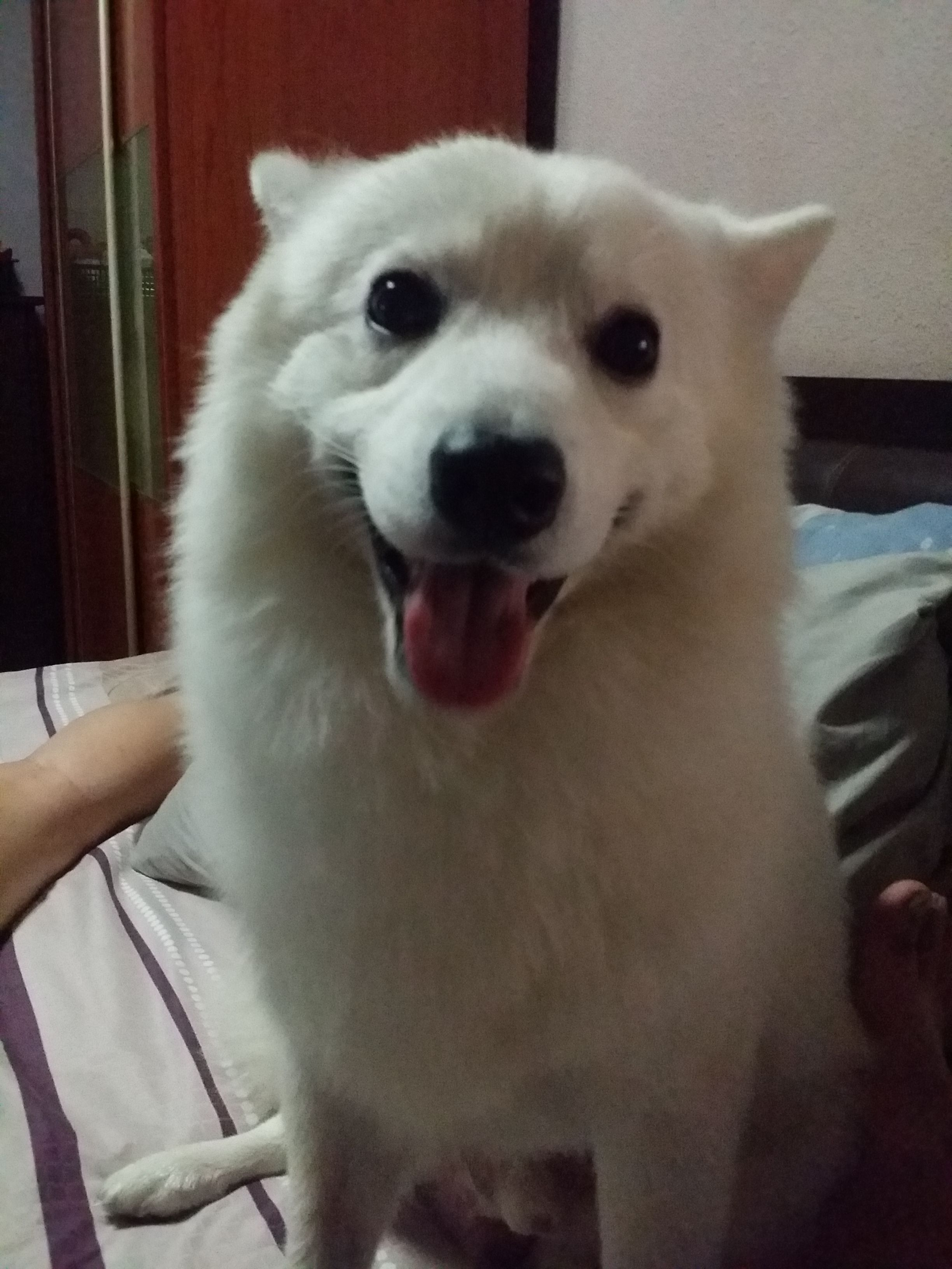 Happy Japanese Spitz - Pawshake