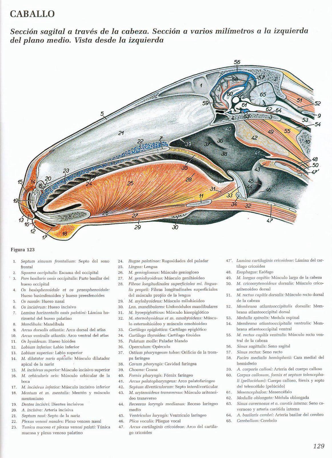 Anatomía | Anatomía Ecuestre | Pinterest | Ecuestre y Anatomía