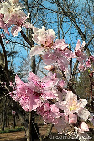 Stratford Oklahoma Is Famous For It S Fruit Trees The Peach Trees Produce Beautiful Pink Blossoms That Bloom Early Trees To Plant Peach Blossoms Fruit Trees