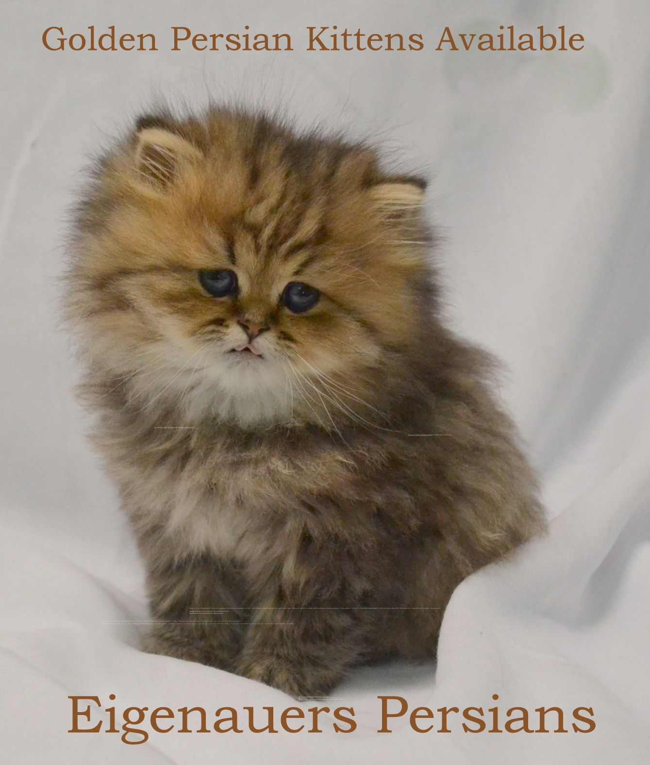 Persian Kittens For Sale Persian Cats For Sale Golden Persian Kittens For Sale Silver Persian Kittens For S Persian Kittens Persian Kittens For Sale Kittens