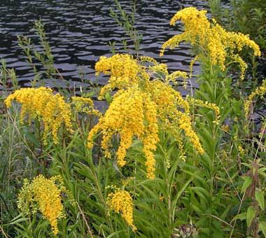 Goldenrod Flowers Goldenrod Soldiago Gigantea Was Designated Official State Flower Of Kentucky In 1926 Kentucky State Flower Cool Plants Goldenrod Flower