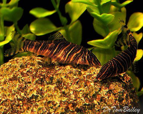 Zebra Loach Featured Item Zebra Loach Fish Petfish Aquarium Aquariums Freshwater Freshwaterfish Featureditem Pet Fish Fresh Water Freshwater Fish